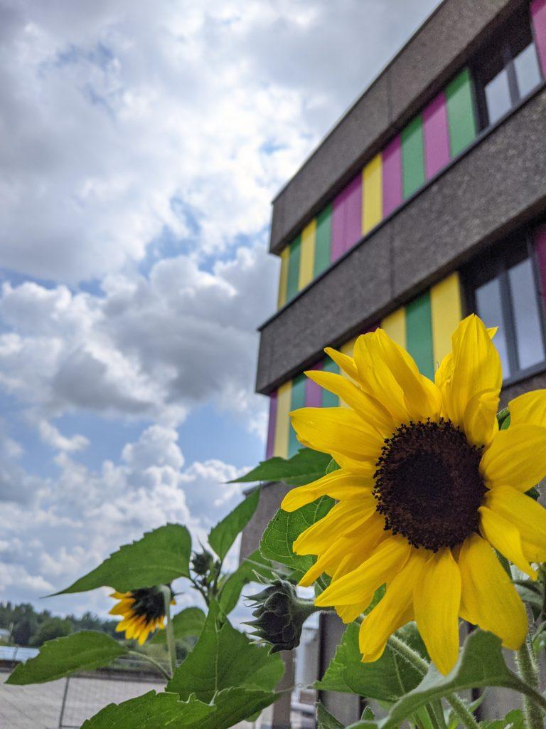 Sonnenblume vor der Schule